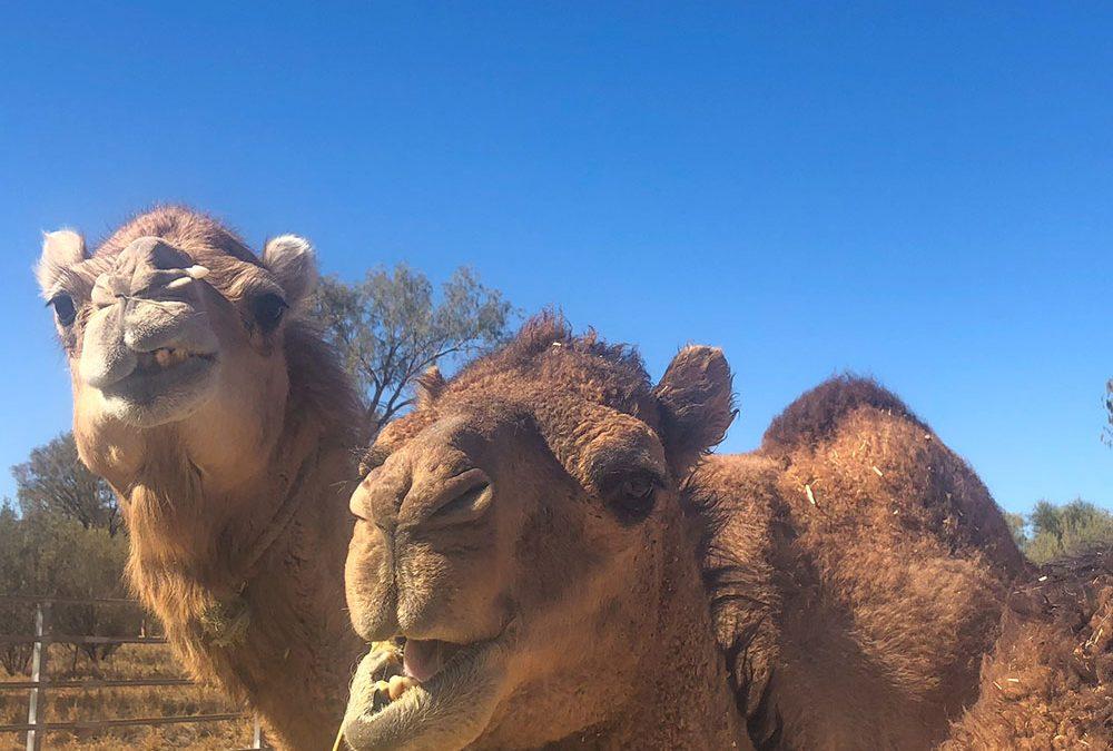 Camel Rides Australia