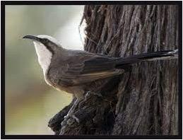 birds of central Australia